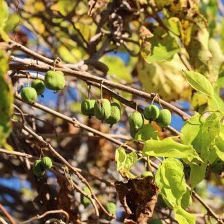Slyngplanter og klatreplanter