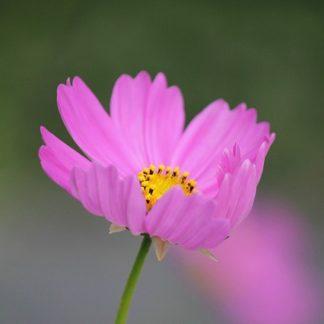Spiselige blomster, frøstande el. frø