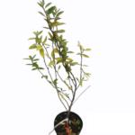 skærsølvblad alm